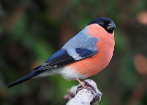 Common male bullfinch