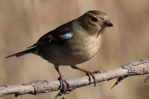 Common female chaffinch